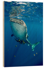 Legno  Whale shark - Pete Oxford