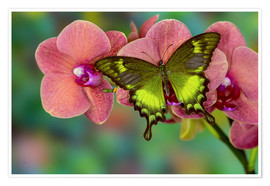 Poster Green swallowtail butterfly on orchid