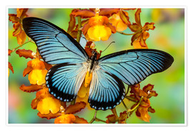 Poster Blue butterfly on yellow blossom