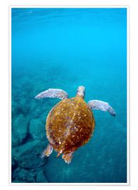 Poster  Galapagos Green Sea Turtle (Chelonia mydas agassizi) underwater GALAPAGOS ISLANDS, Ecuador, South Am - Pete Oxford