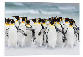 Forex  King Penguins sulle isole Falkand - Martin Zwick