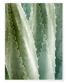 Poster Agave Americana