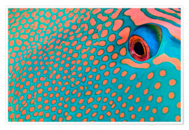 Poster  Extreme close-up of the pattern on a bicolor parrotfish, Indonesia.