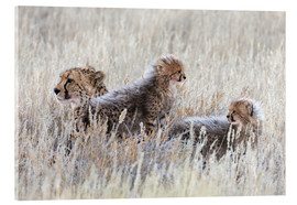 Stampa su vetro acrilico  Cheetah (Acinonyx jubatus) with cubs, Kgalagadi Transfronter Park, Northern Cape, South Africa, Afri