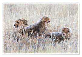 Poster Premium  Cheetah (Acinonyx jubatus) with cubs, Kgalagadi Transfronter Park, Northern Cape, South Africa, Afri