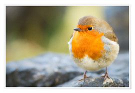Poster Premium  Robin, garden bird, Scotland, United Kingdom, Europe - Karen Deakin