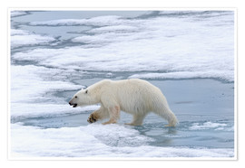 Poster Premium  Orso polare sulle isole Svalbard - G & M Therin-Weise