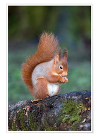 Poster Premium Red squirrel (Sciurus vulgaris), Eskrigg Nature Reserve, Lockerbie, Scotland, United Kingdom, Europe