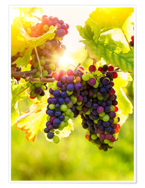 Poster Premium  Bunch of black grapes on the vine - Elena Schweitzer